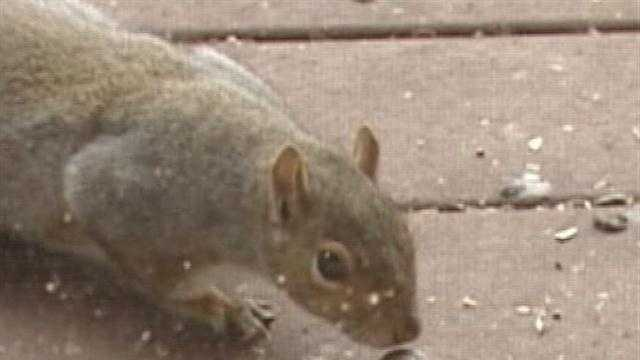 Squirrel snags an acorn