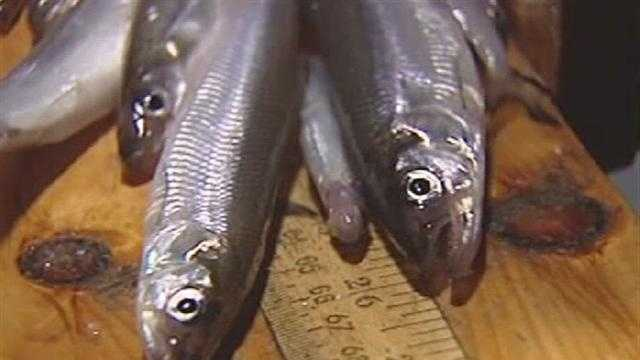 011413 CC Forage Fish - img