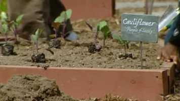 One item to plant: Cauliflower.