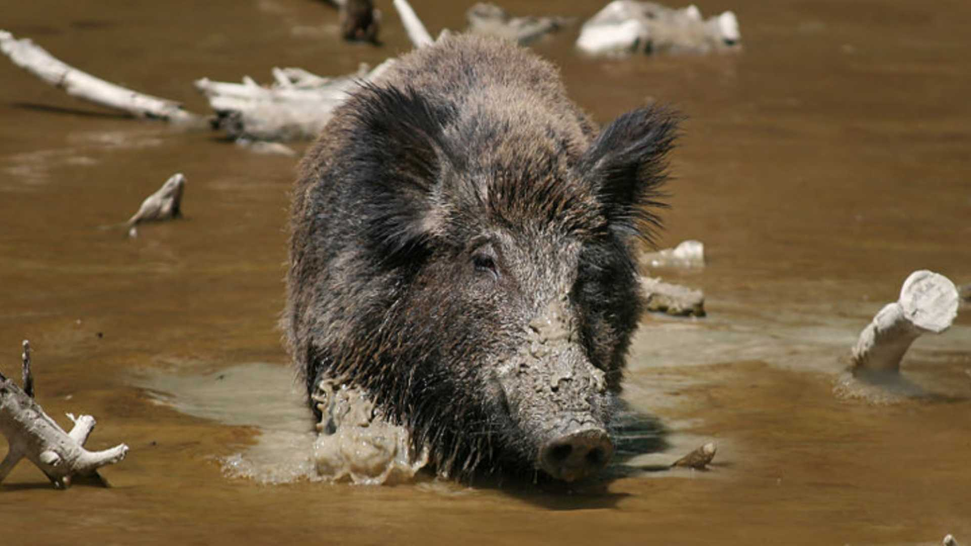 04-07-13 Lawmakers look to ban wild boar - img