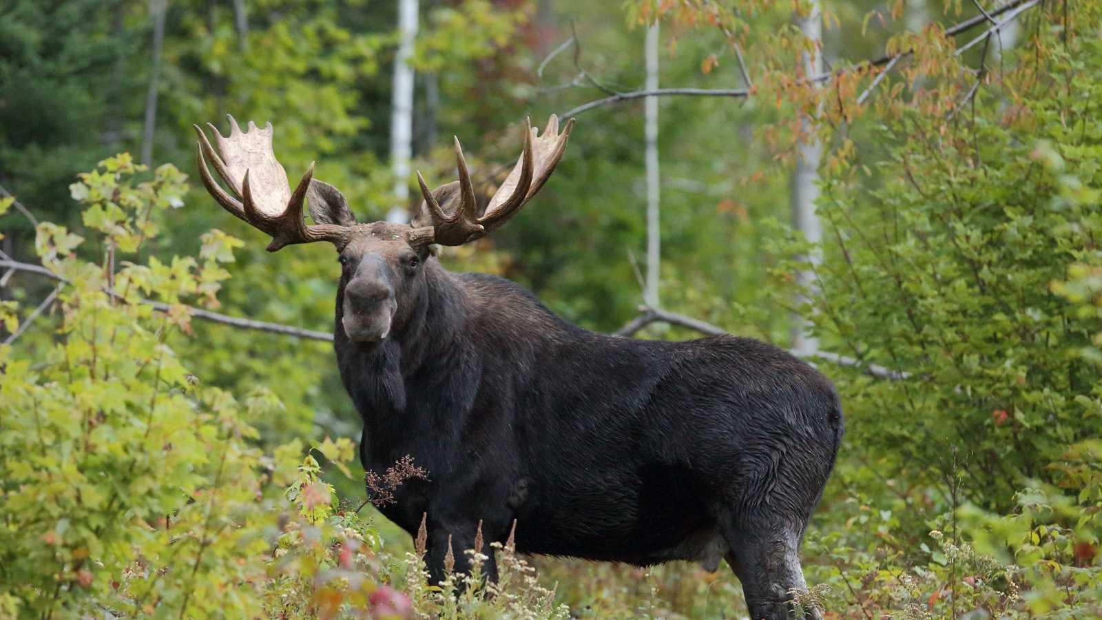 Moose generic