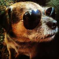 This is my dog Austin. He's a 12-year-old Border Terrier. My family calls him the wonder dog because he's survived two kinds of cancer and is still an energetic, life-loving scruff ball. Plus, he looks better in my sunglasses than I do.