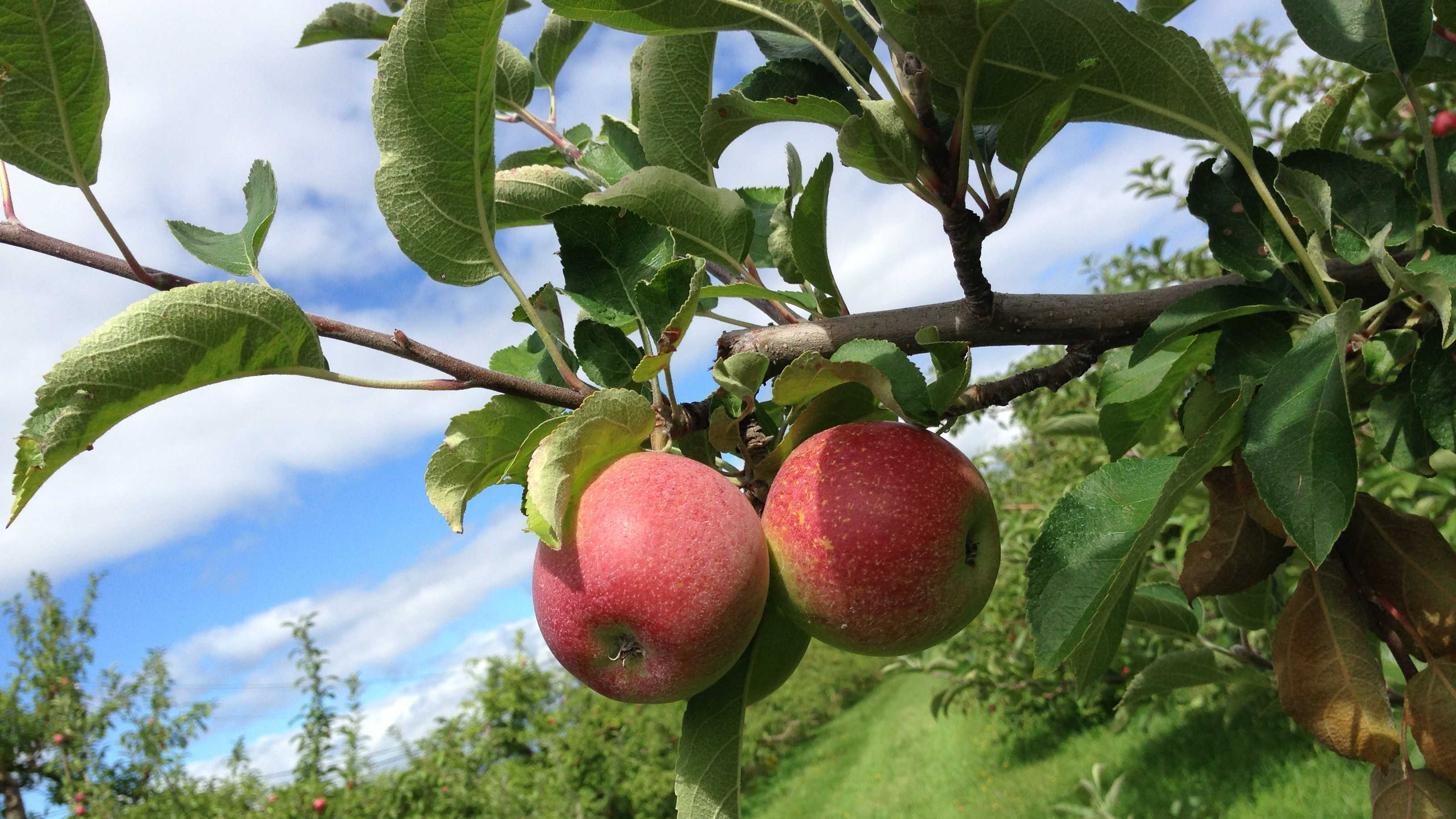 09-03 After disappointing 2012, apple crop predicted to bounce back in 2013 - img