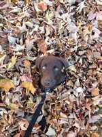 Ryder plays in the leaves in Lake Placid, N.Y. by Jill Magurk.