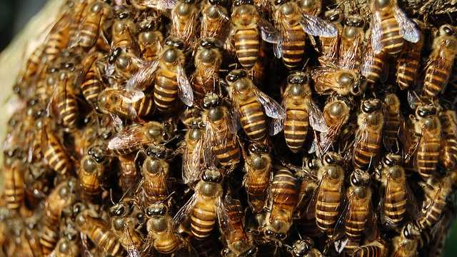 Honey bees generic