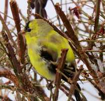 Alice snapped this beauty of a bird. Snow... rain... mix... doesn't stop this bird from singing a tune.