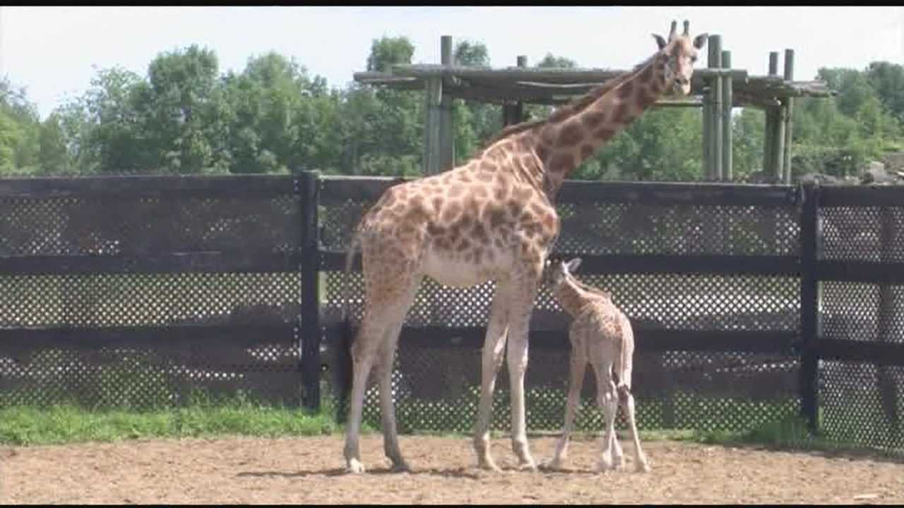 Marking first newborn giraffe at the zoo in more than two decades