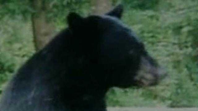 Bear Sightings Up - 13778451