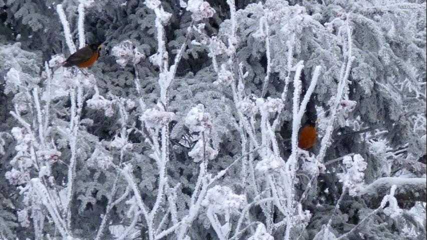 Wintering Robins