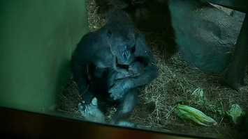 In February, the Pittsburgh Zoo & PPG Aquarium celebrated the birth of its first baby gorilla since 2001. The father, Mrithi, was the first gorilla born at the zoo.