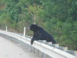 Corey Palumbo, 7, took this photo of the second bear as it peeked over a guiderail along Route 28.