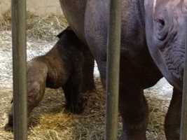 The female rhino was born to Azizi and weighs nearly 70 pounds.