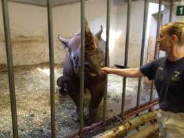 Here's keeper Diane Hagey feeding Azizi. The mother rhino needs to keep her strength up because her calf nurses every hour.