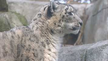...this snow leopard could stay outside all day.