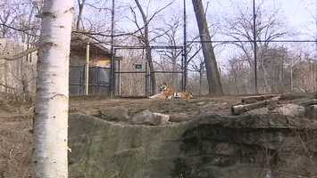 Siberian tigers don't need much help to keep warm.