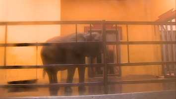 Elephants spend the cold days inside, not only because their bodies don't hold heat very well, but because they could also be easily injured on the ice.