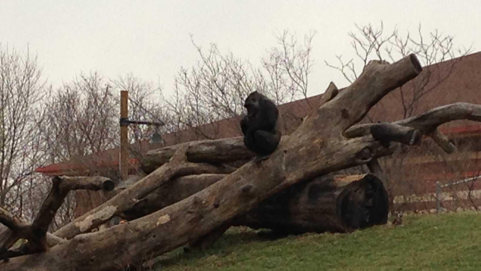 Moka the gorilla
