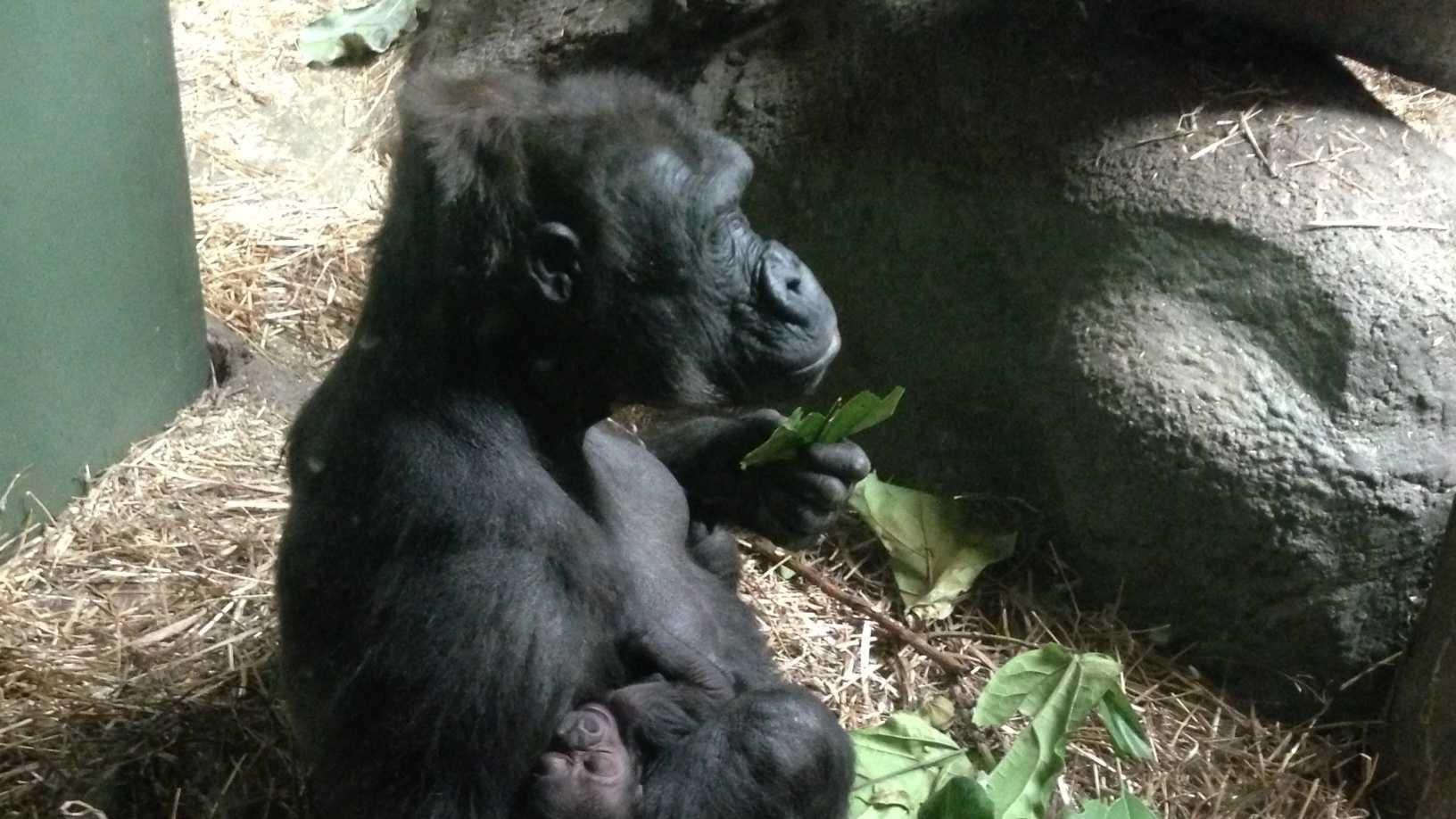 Moka with baby gorilla