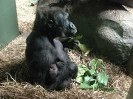 Here's Moka holding her baby gorilla before the zoo staff took himaway from her so he could be properly cared for and nursed.