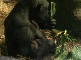 Moka eats leaves while her baby sleeps. Keepers know that Moka is nursing, partly because the baby is not crying.
