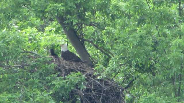 Hays eagle mom and eaglet