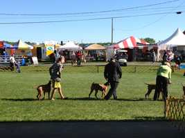 Huge show with dogs from all over the Mid-Atlantic states, Kentucky, Canada and more. 1800 dogs this week-end and runs through Monday. These are Vizslas!