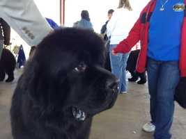 A Newfoundland is waiting