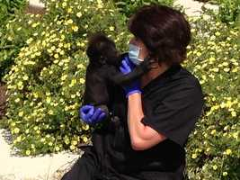 All staff and volunteers wear gloves and masks around the clock so they don't give him human diseases.