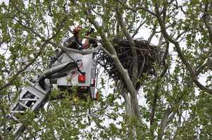 When the eagle was ready to be released, the Ellwood City Fire Department used a truck with a 100-foot boom to help the Game Commission put the bird back into its nest.  One of the adult eagles soared over the nest minutes after the youngster was released.