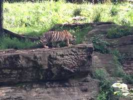 The baby Amur tiger at the Pittsburgh Zoo is finally ready to go outside.