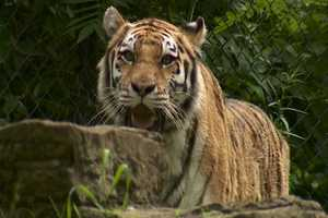 Mama Amur Tiger