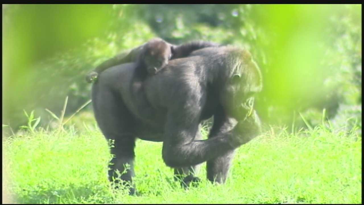 img-Moka with baby gorilla