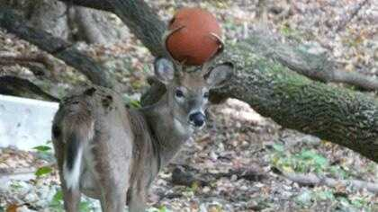 Deer with basketball (no caption)