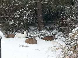 Debbie Havrilla spotted an albino deer in the yard of her home on Mowry Drive in Pleasant Hills.