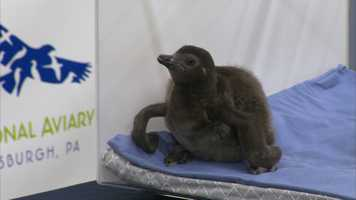 A newborn pair of endangered African penguins made their public debut at the National Aviary in Pittsburgh on Thursday.