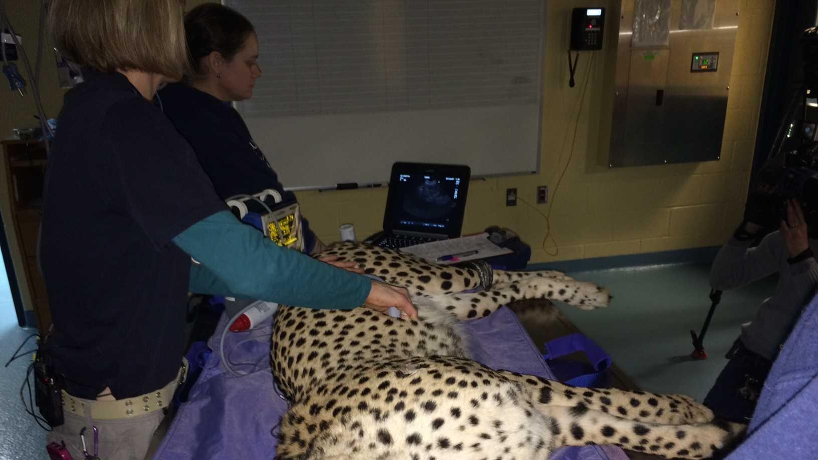 Cheetah checkup