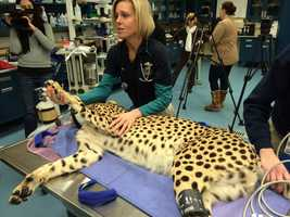 Dr. Ginger Sturgeon shows off the claws of a cheetah during an examination.