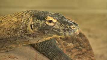 The indoor temperature is kept near 81 degrees for reptiles, which is ideal for the Komodo dragon and the American alligator, who stay warm with hanging heaters and heated floors