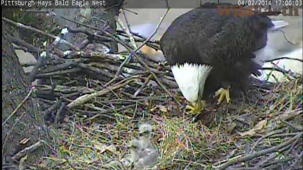 bald eagle and two eaglets