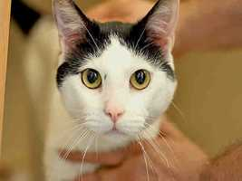 Western PA Humane Society: Patches is a neutered male, black and white Domestic Shorthair. He is about 4 years old and weighs 11 pounds.