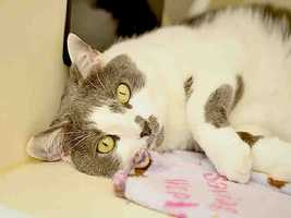 Western PA Humane Society: Squirt is a neutered male, gray and white Domestic Shorthair. He is 5 years old and weights 14 pounds.