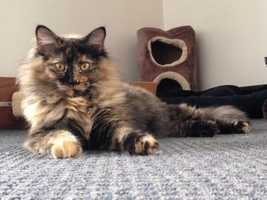 Animal Rescue League: Storm is a spayed female Domestic medium hair. She is 1 year old and weights 9 pounds.