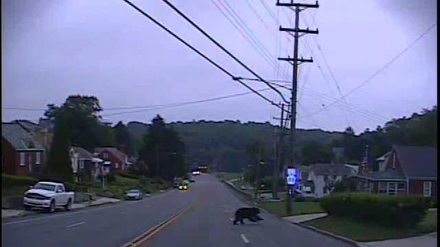 bear on Connor Road in Mt. Lebanon