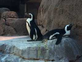 African Penguins are native to South Africa and live in a climate similar to Pittsburgh: cold in the winter, warm in the summer.