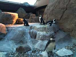 Penguin Point is home to the National Aviary's 18 African Penguins.