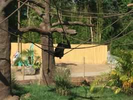 Male and female siamangs are real swingers as they show off their amazing agility moving among the 13-foot high treetops.