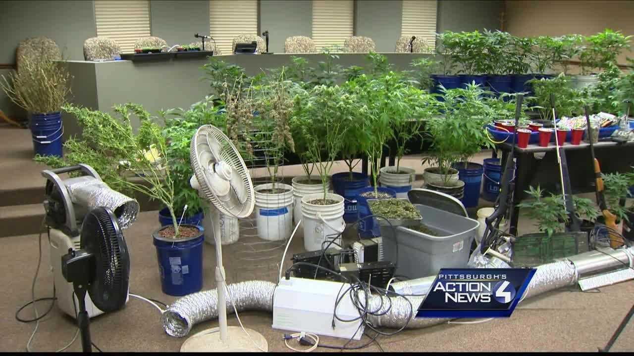 marijuana plants growing operation