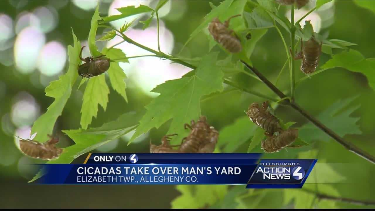Cicadas taker over Pittsburgh area man's yard