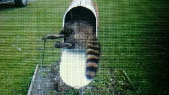 racooninmailbox.jpg