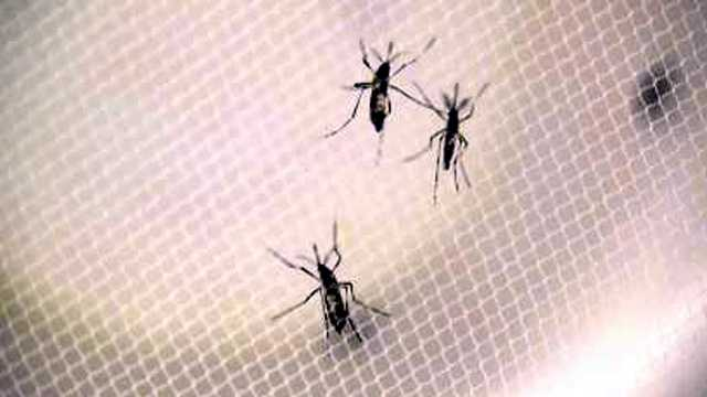 Mosquitoes can transit Zika virus